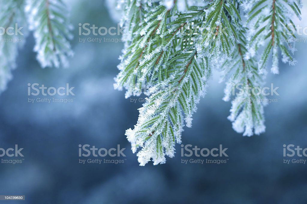 Frost on Pine stock photo