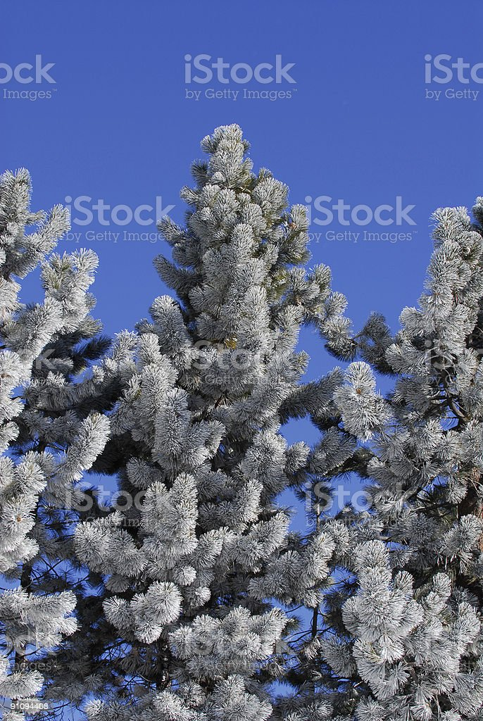 Frost on Pines royalty-free stock photo