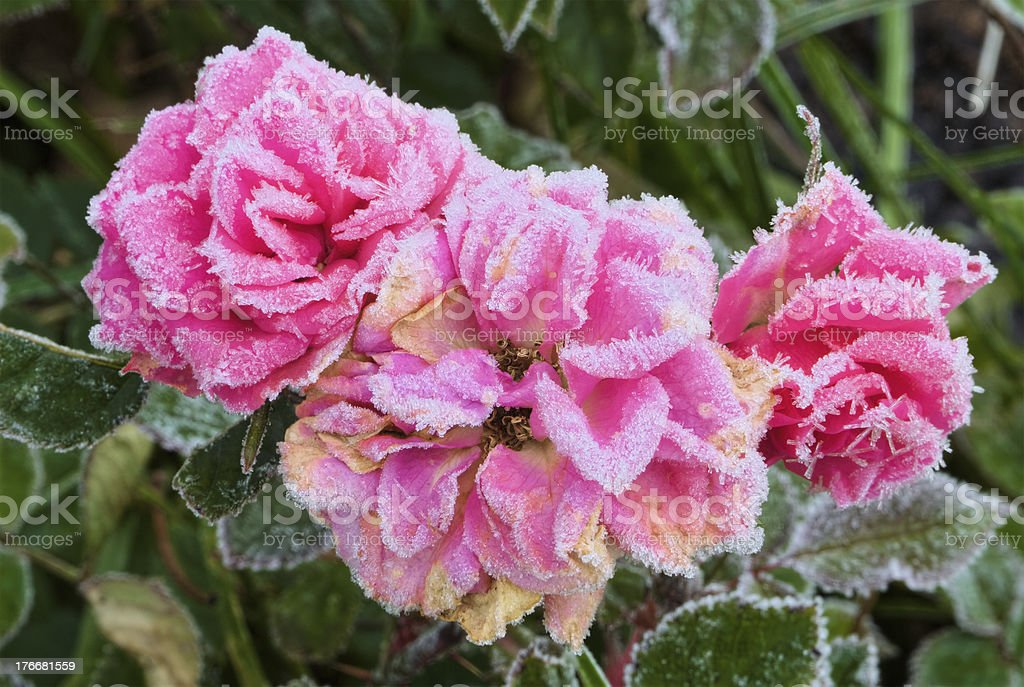 Frost on Roses royalty-free stock photo