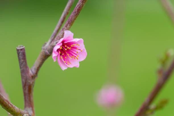 Frost Peach Tree Pink Blossom Flowers Horizontal stock photo