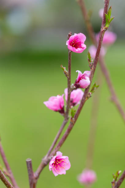 Frost Peach Tree Pink Blossom Flowers Vertical Image stock photo