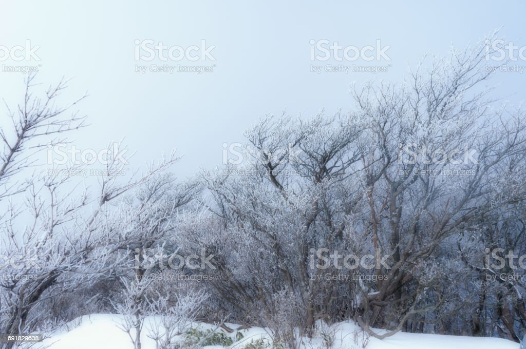 Frost trees stock photo
