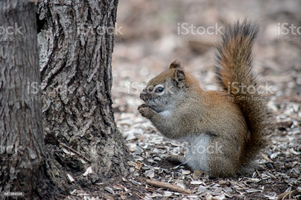 Frostbite squirrel foto stock royalty-free