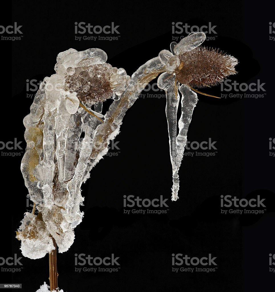 frost-bound thistle stock photo