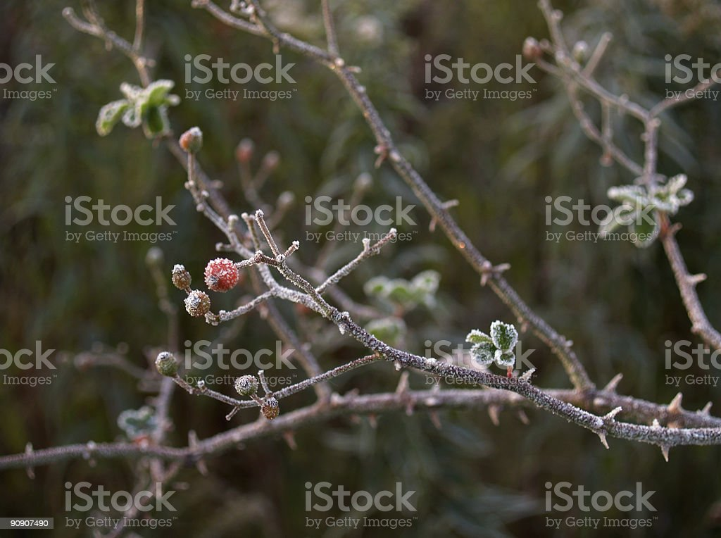 Frost-coated Hawthorn Berry Stem with Thorns (Craetagus) stock photo