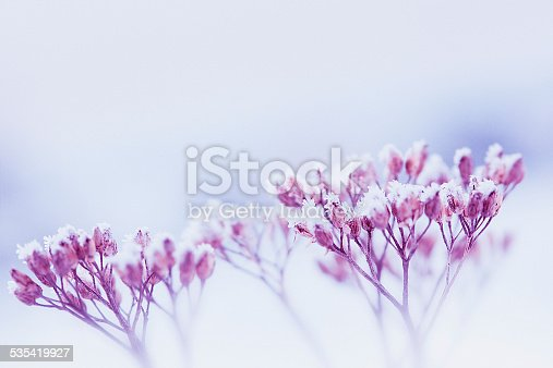 frost-covered dried wildflowers
