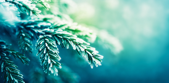 Close-up of a blue spruce tree branch covered in frost. The camera is focused on the branch on the left side of the image, while the right side is defocused.