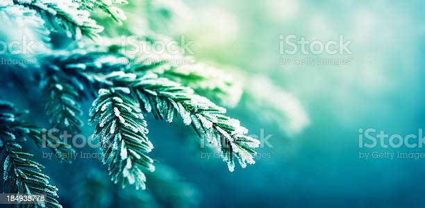 Photo of frost-covered spruce tree branch