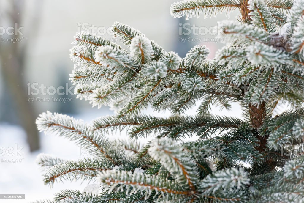 Frost-covered spruce tree branches stock photo