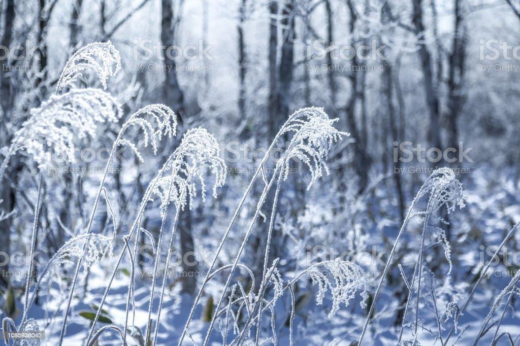 霜に覆われた木、北海道。 ストックフォト