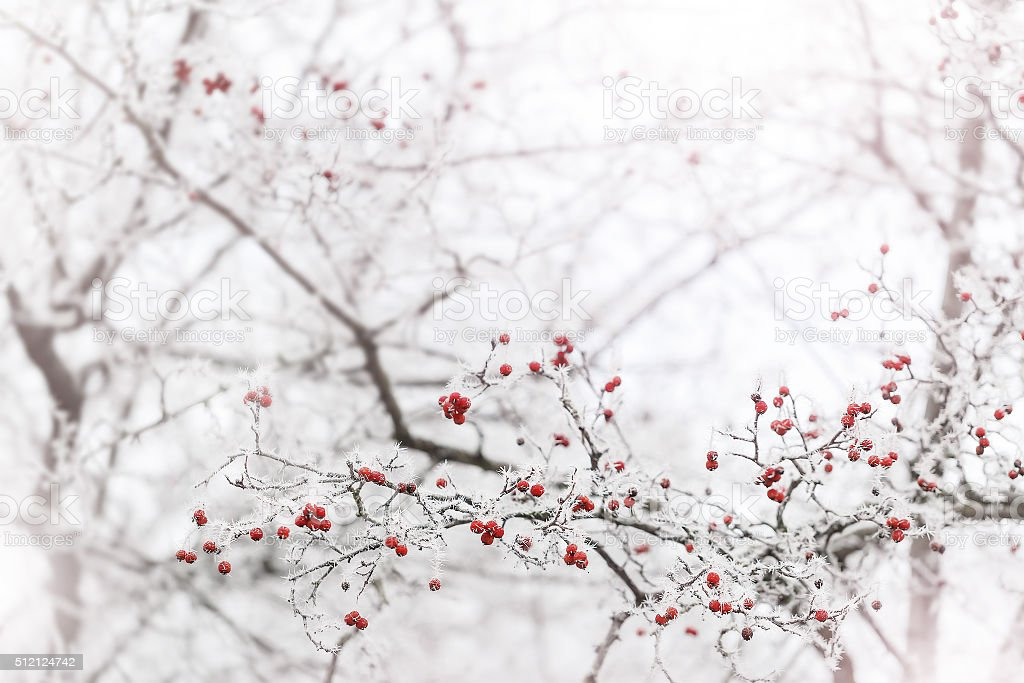 Frosted berries in the park stock photo