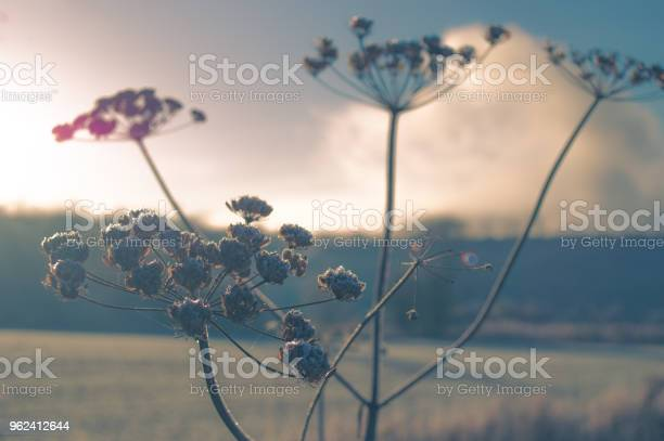 Photo of Frosted cow parsley seed heads with spider web in the dawn