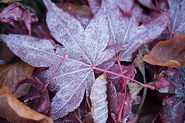 Frosted fallen red and brown leaves in winter stock photo