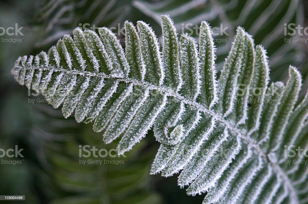 Frosted Fern stock photo