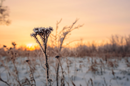 Frosted flowers in the sunset light
