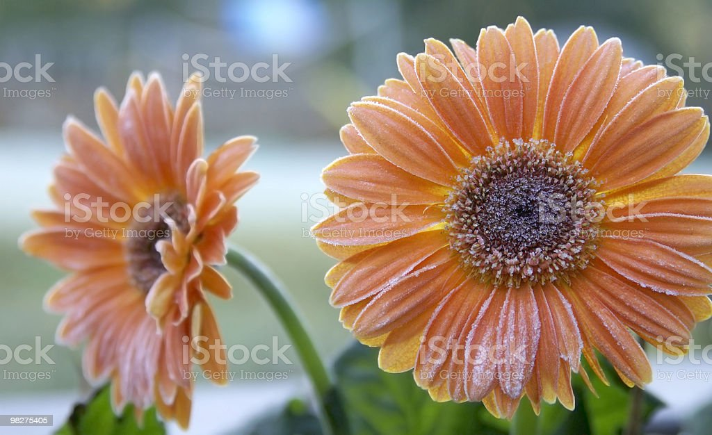 Frosted Gerberas royalty-free stock photo