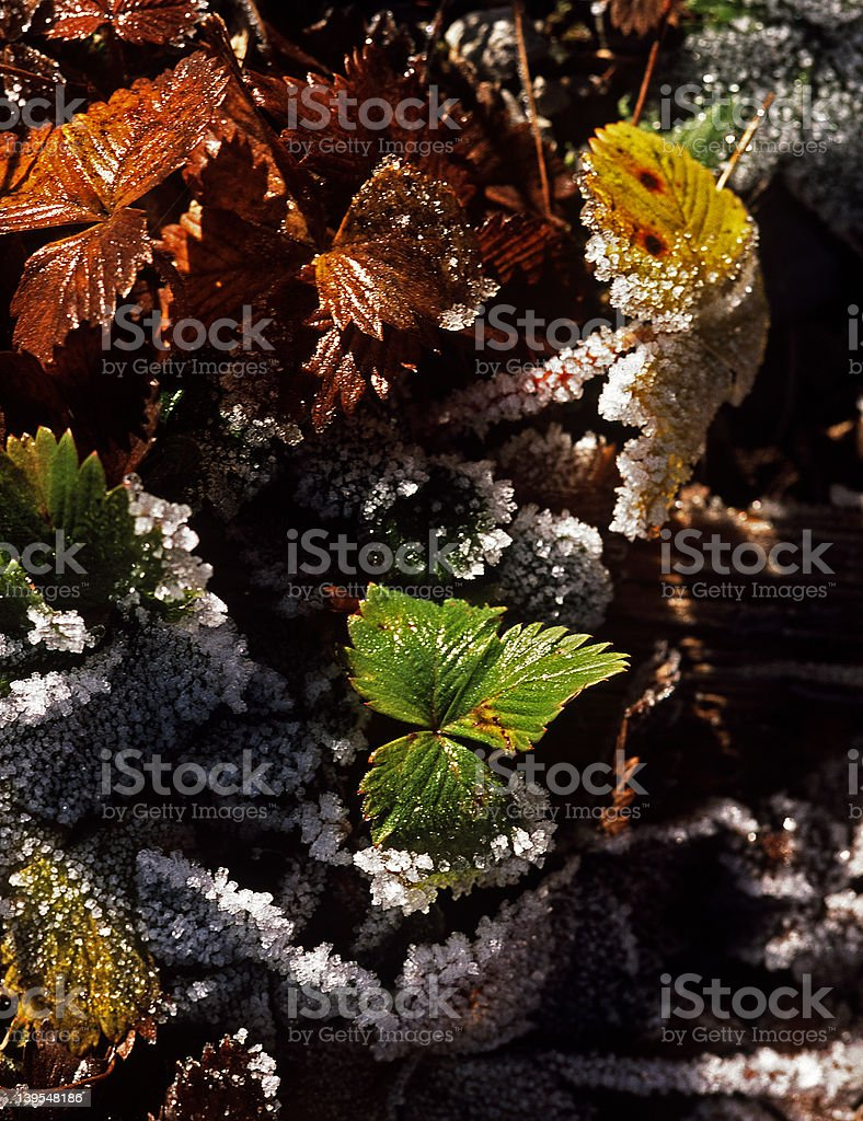 Frosted Leaves royalty-free stock photo