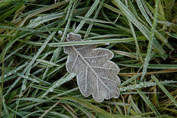 Frosted oak leaf stock photo