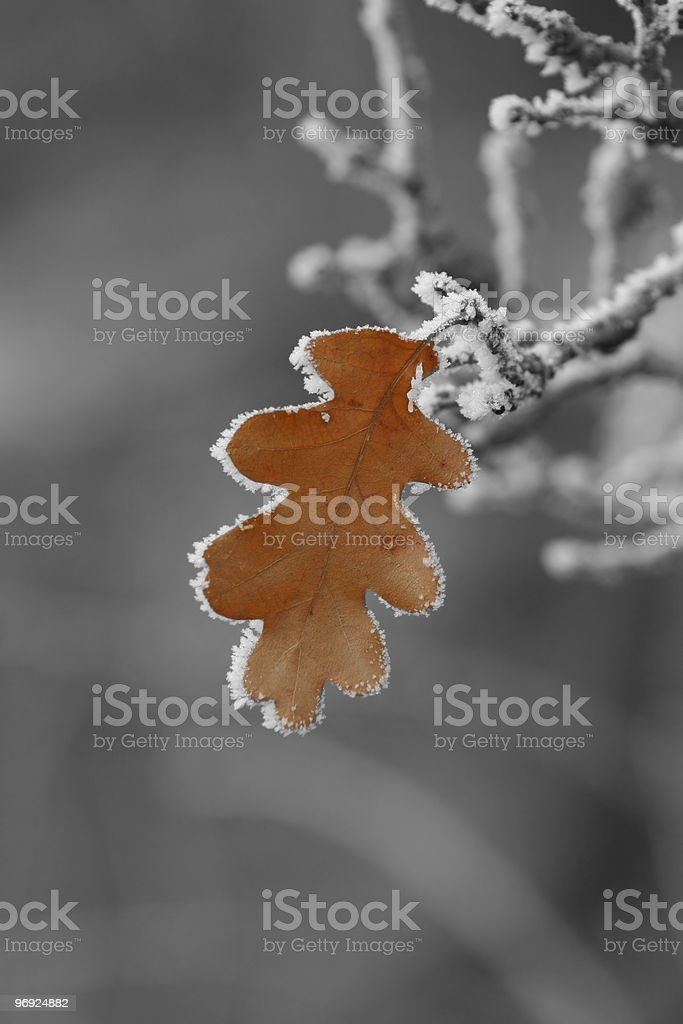 Frosted oak leaf royalty-free stock photo