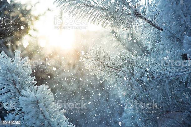Photo of Frosted pine branches. Winter in the woods