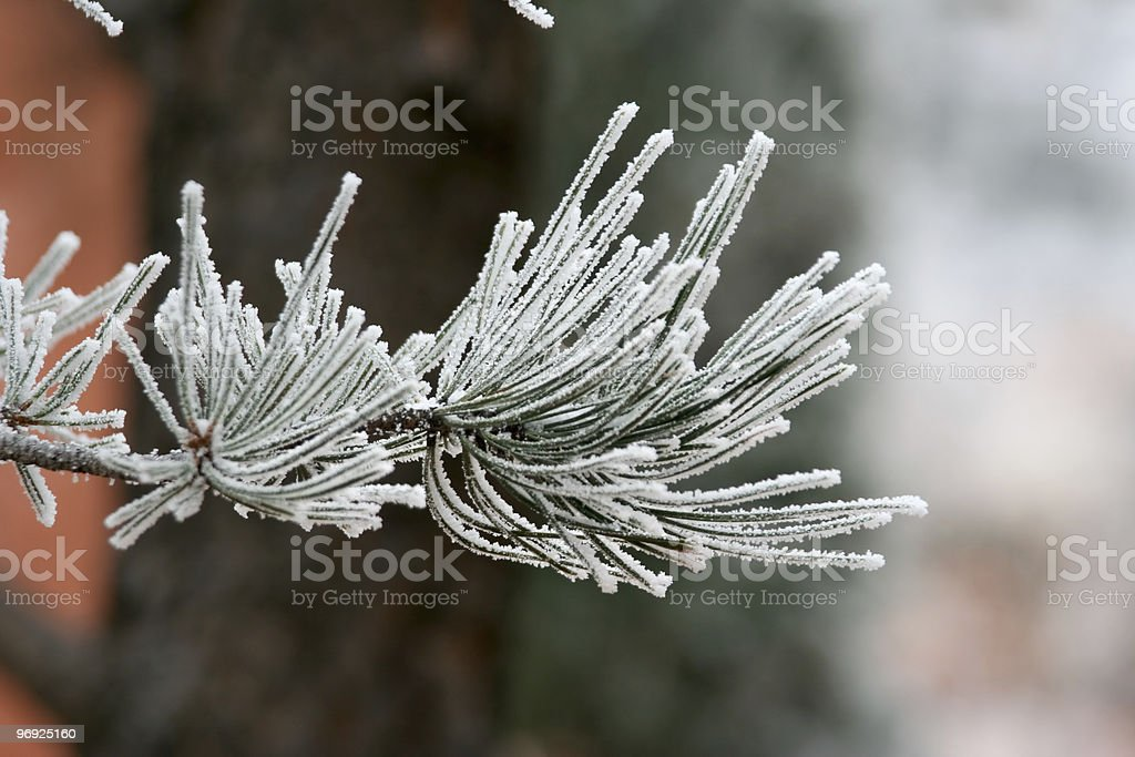 Frosted pine needles in winter royalty-free stock photo