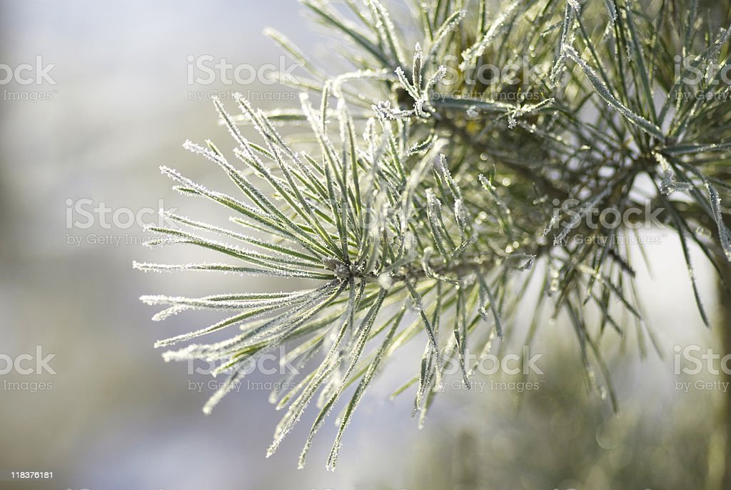 Frosted pine tree royalty-free stock photo
