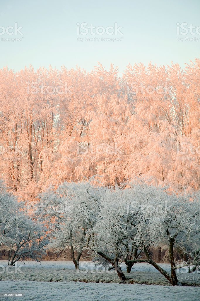 Frosted poplar wood glowing in rising sun, white trees in foreground stock photo