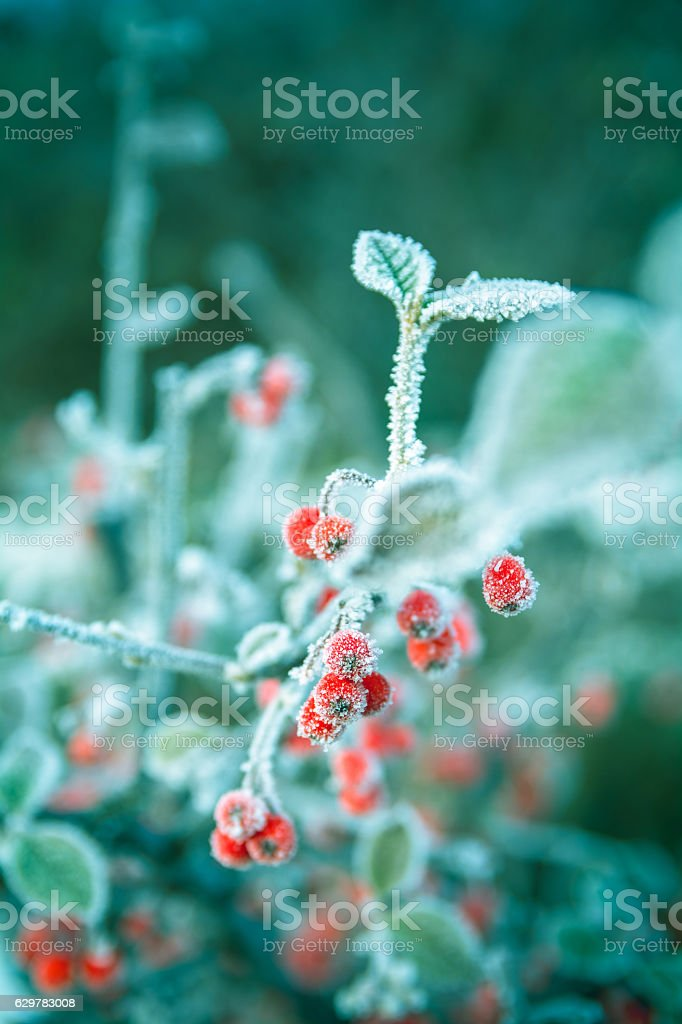 Frosted Red Berries on a Hawthorn Tree stock photo