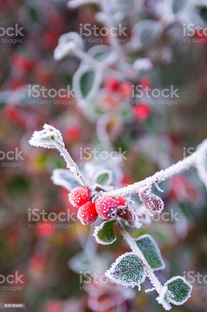 Frosted Red Berries on Hawthorn Tree stock photo