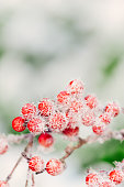Frosted red berries against an out of focus snow background.
