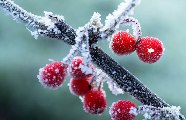 frosted red berries, winter background - frozen berries stock photos and pictures