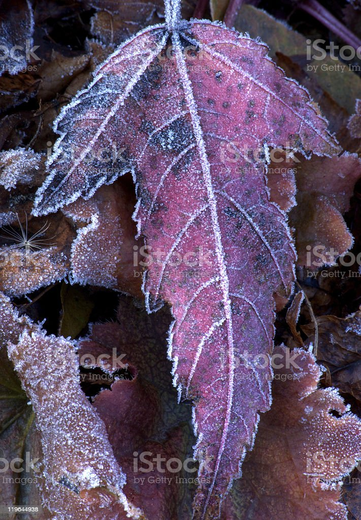 Frosted red leaf stock photo