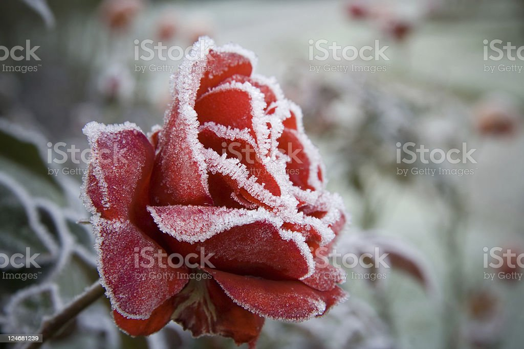 Frosted Red Rose stock photo