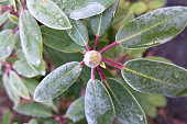 Rhododendron branch with flower bud and leaves frosted with ice after the first frost night in late fall or early winter (captured in my front yard in Bergen, Norway on an early morning in November).