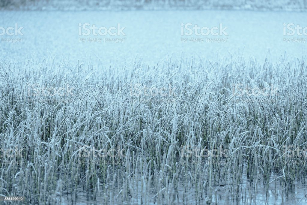Frosted rush by the lake in winter stock photo
