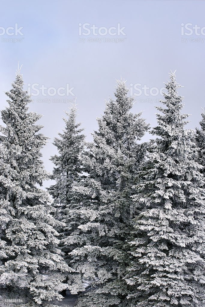 Frosted Spruce stock photo