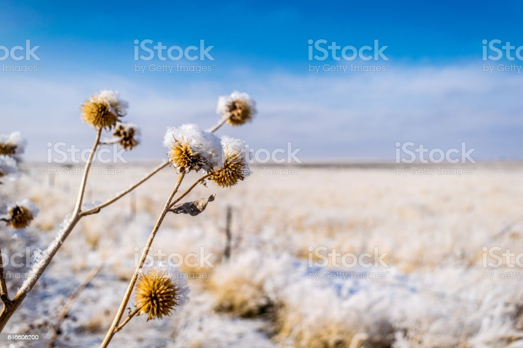 Frosted Sunflowers stock photo