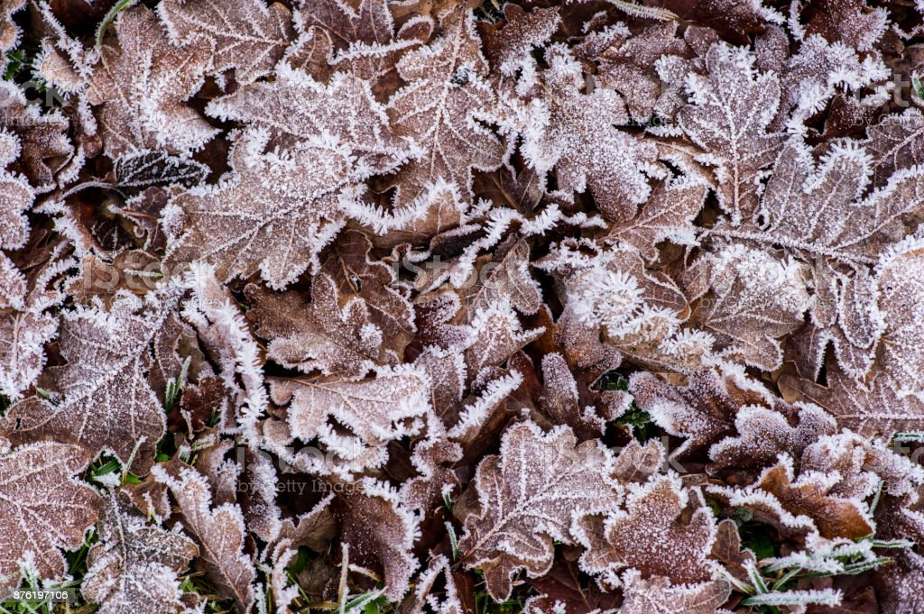 Frostnipped Oakleaves stock photo