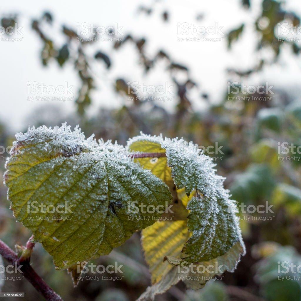 Frost im November - Lizenzfrei Blatt - Pflanzenbestandteile Stock-Foto