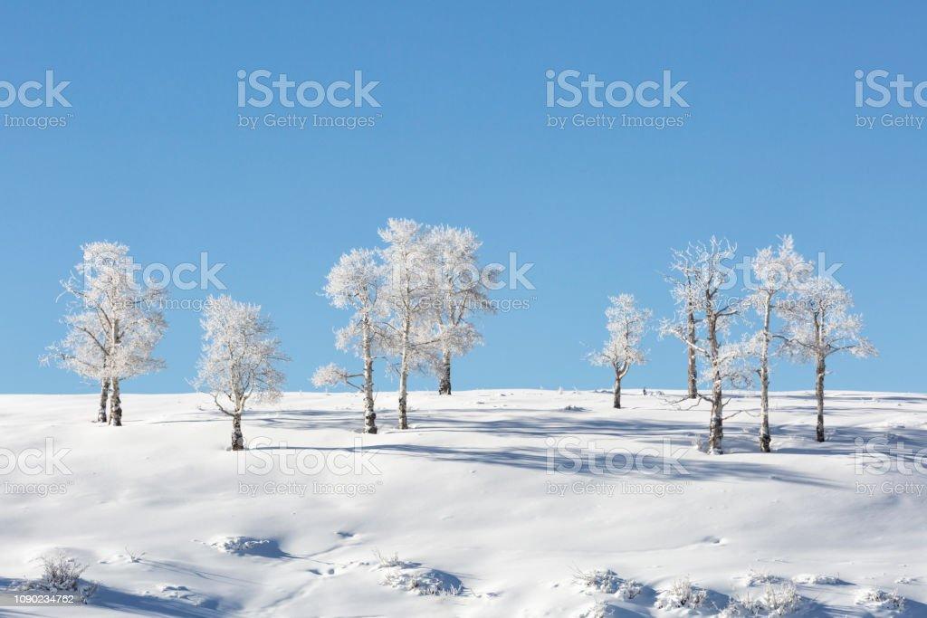 Frosty Aspen Line-up stock photo