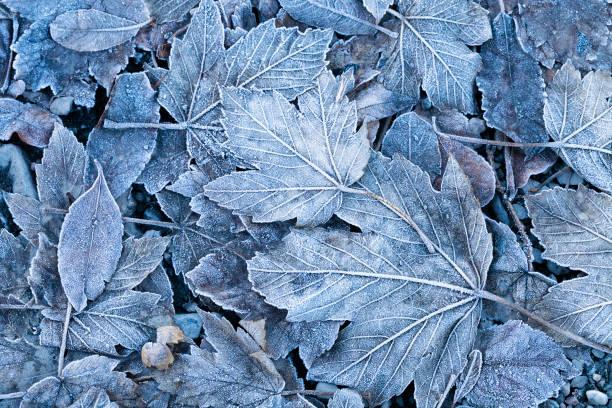 Frosty autumn leaves background picture id933868478?b=1&k=6&m=933868478&s=612x612&w=0&h=wiukhes xbl9exv9xxxgqnxedq9gox82zoejutaqxi0=