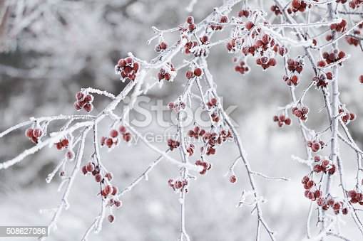 Frosty red berries and branches on a Crab Apple tree in winter.