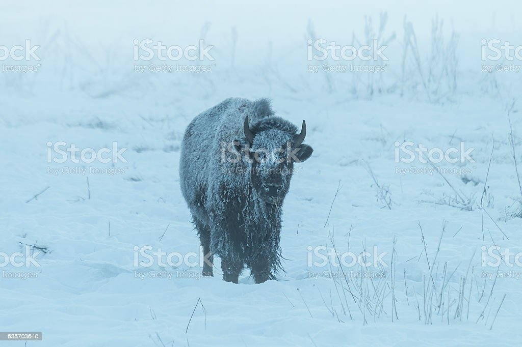 Frosty bison in the fog on a sub-zero winter morning. royalty-free stock photo