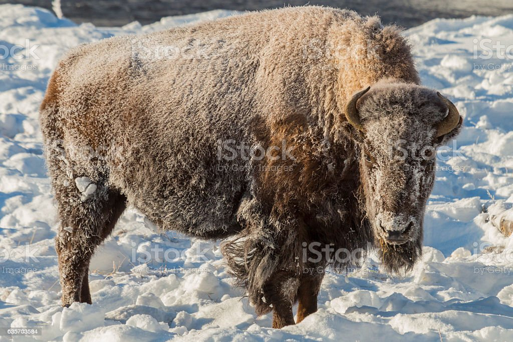 Frosty bison on a cold winter morning in Yellowstone. royalty-free stock photo