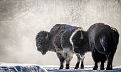 Two bull bison in profile backlit with ice and frost in their fur, breathing clouds of steam in a cold yellowstone winter