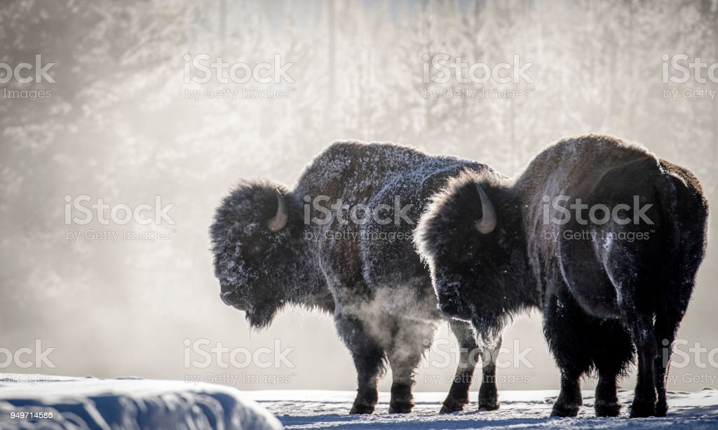frosty bison steam breath yellowstone - foto stock