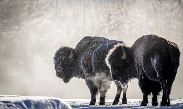 frostiga bison ånga andedräkt yellowstone bildbanksfoto