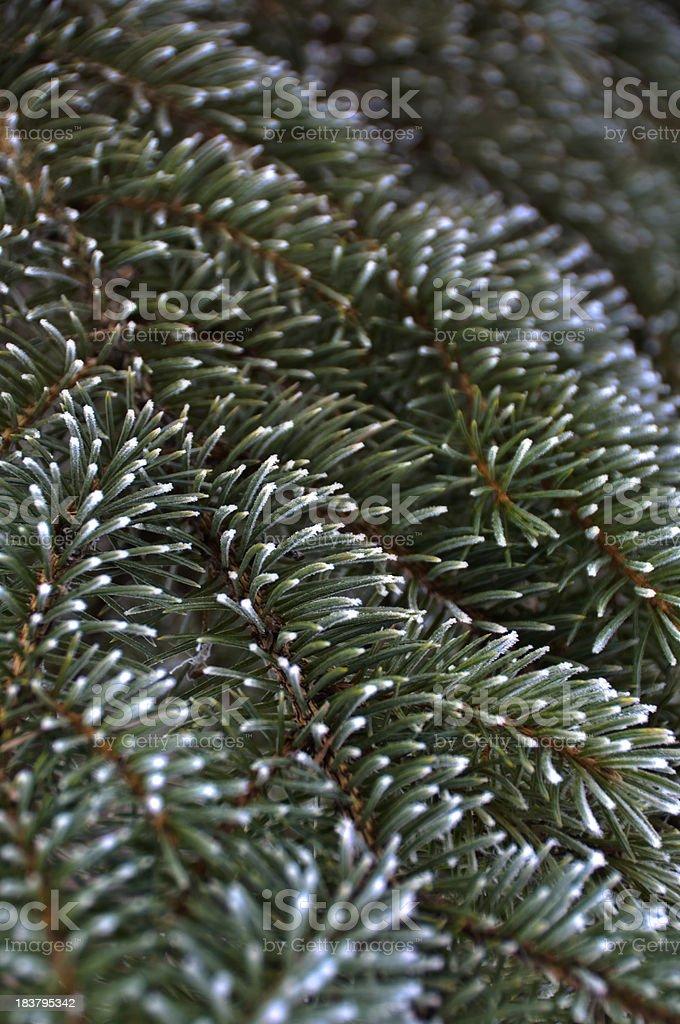 Frosty Blue Spruce royalty-free stock photo