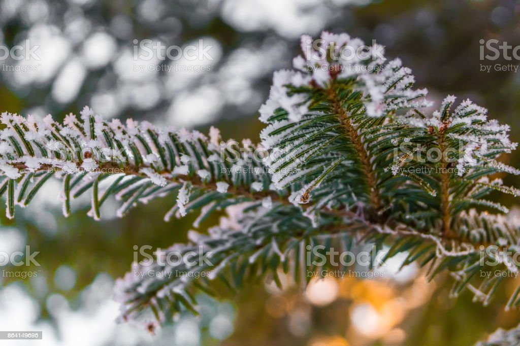 Frosty fir branch with snow on cold winter morning is illuminated by the sun. Closeup royalty-free stock photo