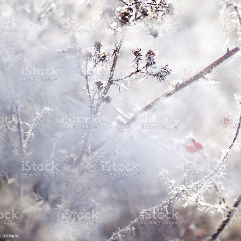 Frosty Flora royalty-free stock photo
